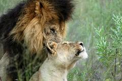 pillow talk (JuttaMK) Tags: africa cats animals lions mombo naturesfinest specanimal superbmasterpiece