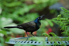 The Common Grackle - by **Mary**