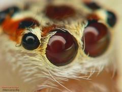 Spider Eyes (Stevewhy) Tags: macro closeup insect spider searchthebest spiders arachnid extreme insects bugs macros supermacro extrememacro naturesfinest blueribbonwinner top20spidersandwebs beautyisintheeyeofthebeholder specanimal abigfave mywinnerstrophy anawesomeshot impressedbeauty specinsect creamofthecropanimalpics onenesslabyrinth diamondclassphotographer qemdfinchadminfaveformay syntheticcolorpics macromaniacsofsingapore awesomebugs macrolife