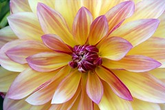Dahlia (wplynn) Tags: flowers plants garden dahlias