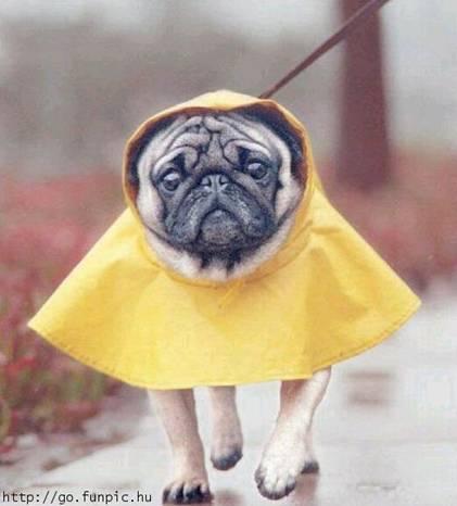 Dog in rain gear