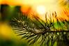Sunset Softly (Armine Abrahamyan) Tags: sunlight sun summer sunset sunshine sunrise sonnenuntergang sonnenlicht sky himmel colors romantic romantik rot red orange yellow natur nature tree trees baum bäume pflanze plant nikon nikor 50mm grass green grün tannenbaum tannen