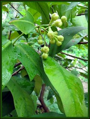 Buds of Rose Apple, at our backyard