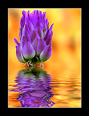 Wild flower reflection (Imapix) Tags: voyage travel wild orange canada flower color reflection nature fleur colors digital wow painting mirror photo bravo colorful photographie 500v20f natural quebec favme peinture qubec favourites favs catchy couleur imapix favpix topfavpix gatangbourque gatanbourque 1500v60f copyright2006gatanbourqueallrightsreserved  copyright2006gatanbourqueallrightsreserved pix50 imapixphotography gatanbourquephotography