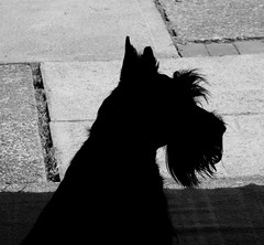 Silhouette of a Scottie ~ Dugan - by victornado