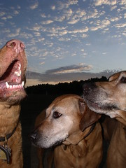 Singing (The Pack) Tags: dog dogs tag3 taggedout wow tag2 tag1 topv1111 sadie pack top20dogpix 50100fav savannah ridgeback chesapeake sirene savedfromoblivion theme2005inreview thepack:a=1