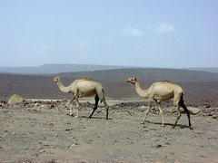 Camels (ImposterVT) Tags: ethiopia camels africa