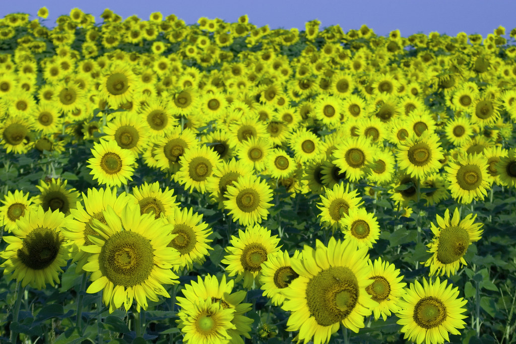 Vast Sunflowers