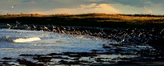 Feathers (Ray Byrne) Tags: uk sea england beach water birds rural landscape ilovenature evening coast countryside unitedkingdom britain country north northumberland shore canon350d gb northern northeast landscapephotography boulmer raybyrne byrneout byrneoutcouk webnorthcouk