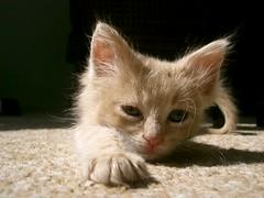 (Marchnwe) Tags: cats kitten cute yellow tail fur carpet