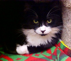 333 Tuxedo Cat (Pixel Packing Mama) Tags: beautiful wonder nice pretty lovely1 great tuxedocats whiskers mycats top20catpix catsandkittensset catscatscats ilovemycat furryfriday meowscatsv heartlandhumanesociety v1000 pixelpackingmama meowscollectors dorothydelinaporter interestingness438 worldsfavorite i500 oyt melfanclub welovelatte tobysgroupies catscookiecatandfriends bonzag favoritedpixset mostinterestingaccordingtoflickralgorithmset spcacatspool catskittensthatarenowonorwereoni500flickrexplore greatpixgallery10favespool favorites10pool wonderfulunlimitedpool ceruleanthecat~fanclubpool tuxedocatspool catssmalltobigpool mavicafanclubpool justmoggiespool reallyunlimitedpool catslookingatyoupool views1750pool sonymavicasetset beautifulcatspool views1000andupdomesticcatsonlypool views17502000pool 1025favouritespool catslonghaircats~pool flickrcatpool catcatscatzpool allcatsallowedpool everybodywantstobeacatpool furryfuncutefunnyanimalspool uploadedtoflickr2005set chosenbyflickrexploreset blackandwhitewhiteandblackwanttoseejustblackandwpool catsarecoolpool furrificcatspool catsrulersoftheworldcatsrockpool blackandwhiteanimalsbirdsetcpool photosfrom20002010pool allwelcomeiamsickofrulesandregulationsnewcontestpool beautifuluniverse~photosmusthavebeautifulincommentspool pixelpackingmama~prayforkyronhorman oversixmillionaggregateviews over430000photostreamviews