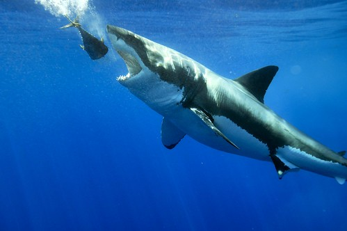 Great White Shark Taking the Tuna