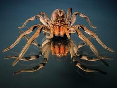 Reflected (Techuser) Tags: macro nature animal topv111 mirror spider quality arachnid tarantula lycosa topvaa specanimal