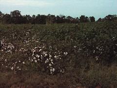 Stop for Photo Op - Cotton Field @ 7:06 AM (Old Shoe Woman) Tags: usa georgia southgeorgia dilosep05 cotton cottonfield dilosept05