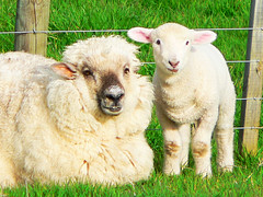 mother daughter (Brenda Anderson) Tags: newzealand white animal lamb livestock ewe rurallife curiouskiwi photodotocontest1 brendaanderson curiouskiwi:posted=2005