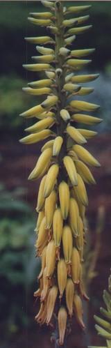 Photo einer Aloe Vera im Schaugarten der Arche Noah, aufgenommen von Monika Bargmann, via Flickr