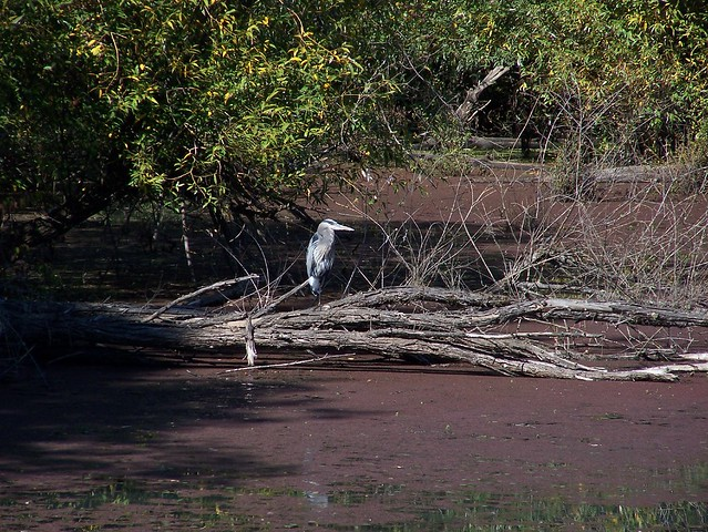 Heron on the Ponds