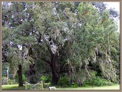 Live Oak Tree in Back Yard (Old Shoe Woman) Tags: usa georgia southgeorgia dilosep05 tree liveoak spanishmoss dilosept05