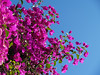Mauve on Blue (Cyron) Tags: 2005 flowers blue sky green geotagged photo flickr purple brisbane southbank bougainvillea takenbyme queensland mauve pc4101 cyron auspctagged geolat274802 geolon1530238