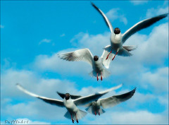 Fly Free! (PuffinArt) Tags: sky seagulls birds flying puffinart vandamalvig specanimal animalkingdomelite diamondclassphotographer flickrdiamond brisbanebirds excapture