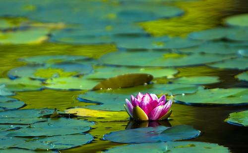 Nilüfer Çiçekleri
