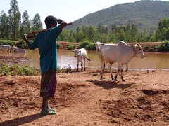 Cowherd with herd (CharlesFred) Tags: africa countryside african somali dailylife ethiopia afrique harar ogaden babile