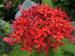 Red Ixora in Aruba (alohadave) Tags: red flower iso100 fuji aruba finepix fujifilm f28 ixora 6mm s3100 0005sec 06ev