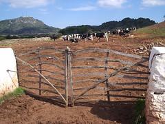 Dins sa tanca (Carlos Pons) Tags: sec seca pedra toro menorca vaques tanques barreres