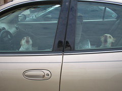 guard dogs (kittyholmes) Tags: roadtrip chihuahua dog guarding dogsincars vicious