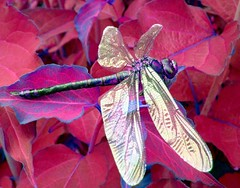 ART BY DRAGONFLY..IN THE RED (*LINNY *) Tags: uk red plant macro nature bug insect ilovenature wings bravo purple top20wings dragonfly wing bugs loveit top20nature bichos top20fav 100commentgroup