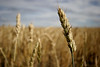 harvest hills wheat (The 10 cent designer) Tags: grass bravo wheat gettyimages ilikegrass utatawiththeants