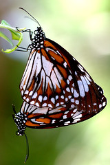 Making Caterpillars! (tarotastic) Tags: deleteme deleteme2 deleteme3 wow butterfly bravo saveme4 saveme5 saveme6 saveme savedbythedeletemegroup saveme2 saveme3 saveme7 saveme10 saveme8 saveme9 mating reproduction itsongnikond70s itsongmacrocosmos