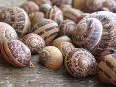 Snails, Brew (Cornwall), 6-Oct-05 (Dave Appleton) Tags: snails snail sennen cornwall