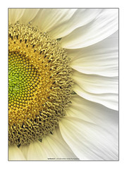 Sunflower II - by Amodiovalerio Verde