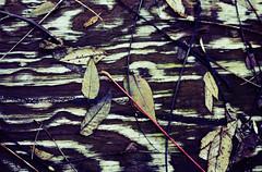 safari (helveticaneue) Tags: asbestosfactory october 2005 ambler walk wood grain leaves wet