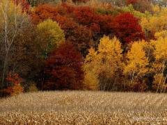 Trees and Corn (Jim Frazier) Tags: road trip autumn trees red plants plant color tree fall nature leaves minnesota yellow rural forest landscape gold amber leaf corn flora scenery fallcolor v100 farm wideangle roadtrip fv5 f10 story crop g1 f3 agriculture f5 printed mn mylife 60 smalltown agricultural stalks f50 v200 f20 gardenblog f55 v500 v1000 q4 seminartrip v5000 calendar2006 mn60 zumbrofalls v2000 explored printportfolio v4000 printed11x14 jimfraziercom wmembed