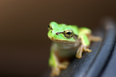 A frog on my Camera Bag