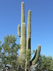 phoenix05 041 (marada) Tags: phoenixandtucson saguaronationalpark