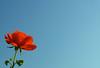 Rose to Sky (ken mccown) Tags: red rose blue sky mc05negativespace deleteme deleteme2 deleteme3 deleteme4 deleteme5 deleteme6 deleteme7 deleteme8 deleteme9 deleteme10