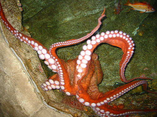 pulpo - aquarium de seattle
