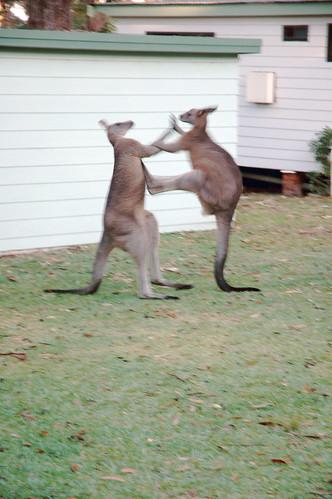 Kangaroo fight (by Pascal Vuylsteker)