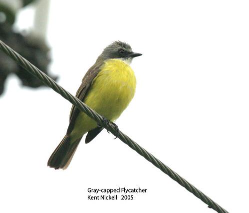 Gray-capped Flycatcher (Myiozetetes granadensis)