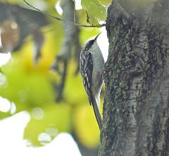 Creep, creep, creeping along (martytdx) Tags: birds nuthatch browncreeper certhiaamericana lifelist pennypackerpark