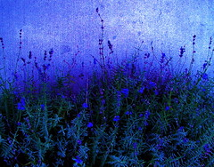 Lavendar (katmeresin) Tags: wallpaper color wow ilovenature creativecommons 500views silverspring 800views 700views 1000views 1on1 interestingess mereand interestingnessnov52005 1100views katmere