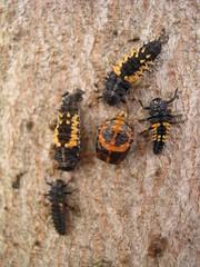 Immature Ladybugs (jillmotts) Tags: insect beetle ladybird ladybug pupa ladybeetle larvae metamorphosis pupae larva jillmotts