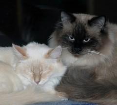 I watch over your sleep, baby! (Buntekuh) Tags: cats pets animals funny blueeyes gatos katzen antje nevamasquerade siberiancat buntekuh