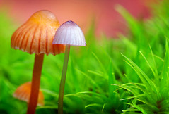 Opposites Attract (| HD |) Tags: baby color colour macro 20d nature mushroom up canon bravo close little fungi fungus opposites attract hd darwish hamad attraction mutual