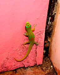 house gecko of Vohemar (Farl) Tags: africa pink green colors reptile gutentag unique wildlife lizard species gecko endemic madagascar phelsuma laticauda phelsumalaticaudalaticauda