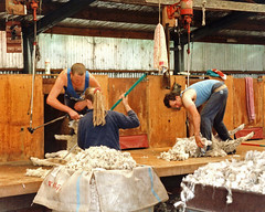 shearing (Brenda Anderson) Tags: newzealand wool sheep shed livestock shearing scannedprint curiouskiwi shear brendaanderson curiouskiwi:posted=2005