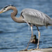 Heron on pier in Columbia, Maryland